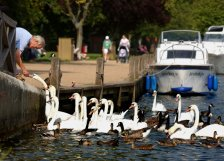 Feeding the ducks and swans on the River Thames