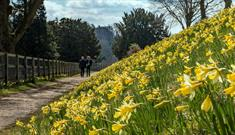 National Trust Cliveden: Daffodils Walking Trail