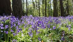 Bluebells at Cliveden